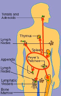 Diagram of human body showing immune system distribution centers