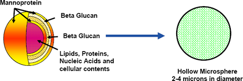 Baker's Yeast cell is purified to pure Beta 1,3-D Glucan