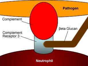 primitive diagram of cellular bonds between pathogen and neutrophil