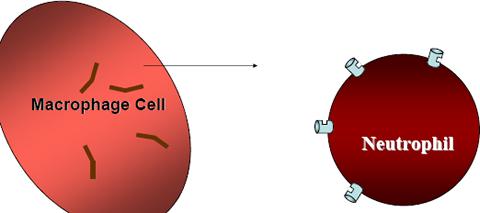 Beta 1,3-D Glucan recruits neutrophils to kill